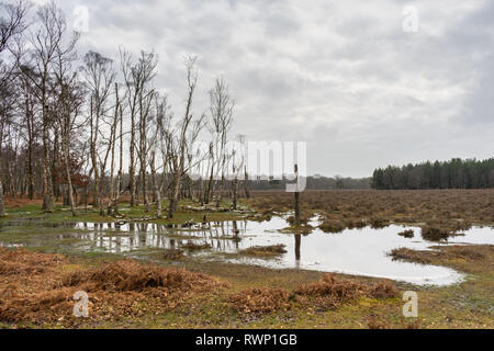 Flooded patch of woodland in the New Forest during winter 2019, New Forest National Park, Hampshire, England, UK - Stock Image