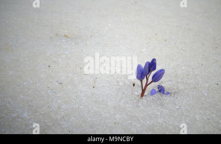 Violet flowers in the spring under the snow. Snowdrops in spring - Stock Image