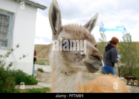 Young Lama very close Patagonia Chile - Stock Image