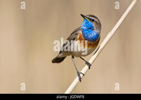 Wei?sterniges blue robin, Luscinia svecica little man, Weißsterniges Blaukehlchen (Luscinia svecica) Männchen - Stock Image