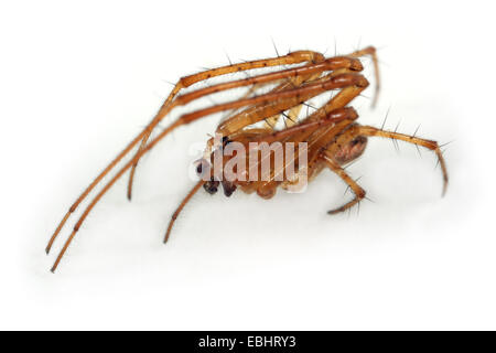 A male Autumn Spider (Metellina segmentata) on white background. Side view. Autumn spiders are part of family Tetragnathidae - Stock Image