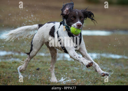 A young English Springer spaniel ( 11 Months) running with ball in mouth with splashes over a water logged area in the New Forest UK after heavy rain. - Stock Image