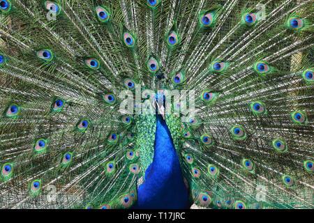 Peacock at Exmoor Zoo, Exmoor, Devon, UK - Stock Image