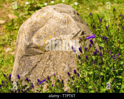 Purple flowers starting to appear on a perennial herbaceous campanula plant, commonly called bellfower, growing in north east Italy - Stock Image