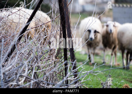 Mountain sheep wondering hungrily the baron hills of Saronida searching for food during the summer, East Attica, Greece, Europe. - Stock Image