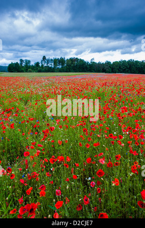 Field of blossoming poppies with dark clouds in the background. Low dof. - Stock Image