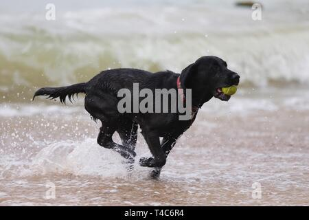 Camber, East Sussex, UK. 16th Apr 2019. On a warm and hazy day at Camber Sands, Peggy the black Labrador plays catch with a ball in the sea. ©Paul Lawrenson 2019, Photo Credit: Paul Lawrenson/Alamy Live News - Stock Image