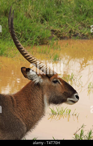 Defassa Waterbuck (Kobus defassa) close up of head of adult male  Lake Mburo National Park, Uganda               November - Stock Image