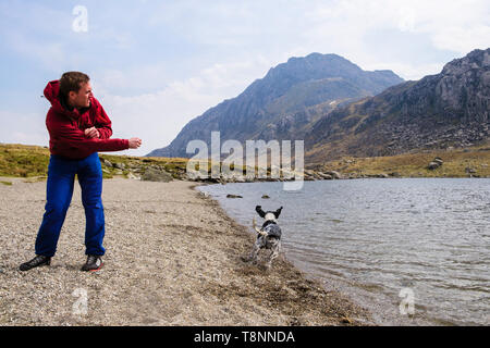 A young millennial man throwing a stone into Llyn Idwal lake for a Springer Spaniel dog to chase in Snowdonia National Park. Ogwen, Gwynedd, Wales, UK - Stock Image