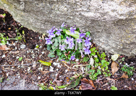 A common Dog Violet - Viola riviniana cluster of flowers growing in the dirt accumulated at the base of a wall in an urban setting - Stock Image