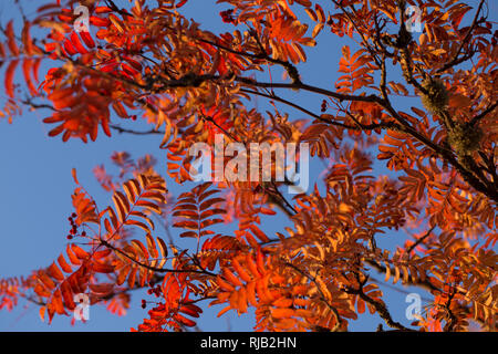 Rowan branches in autumn colors, blue sky background - Stock Image