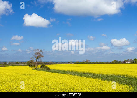 Rapeseed oil field in the Cotswolds near the village of Stanton on a bright Spring morning in May on a bright sunny day - Stock Image