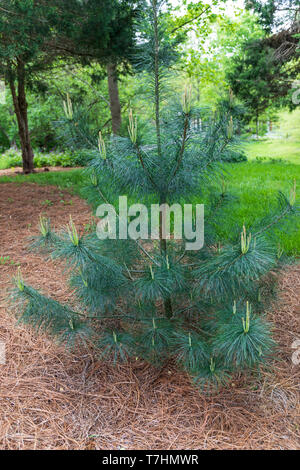 A small longleaf pine in early spring, planted as an ornamental in a park. - Stock Image
