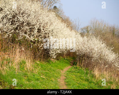 White blossom of the sloe, Prunus spinosa, covers the shrub in mid April to provide the frost like decoration of 'Blackthorn Winter' - Stock Image