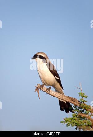 Tanzania, Serengeti. A Shrike taking in the morning sun. - Stock Image