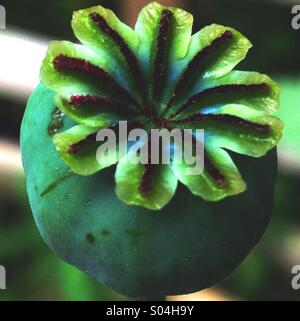 Poppy Seed Head - Stock Image