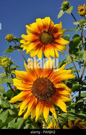 Beautiful, blooming sunflower on bright sunny day outside, USA, selective focus. - Stock Image