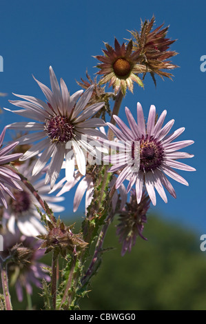 Purple Berkheya (Berkheya purpurea), flowers. - Stock Image
