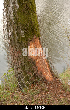 beaver protection in bavaria, metal grid around a tree to protect against beaver - Stock Image