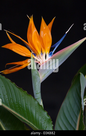 bird of paradise flower Strelitzia exotic orange blue - Stock Image