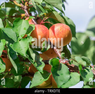 Ripe apricots on the orchard tree. Close -up. Nature background. - Stock Image
