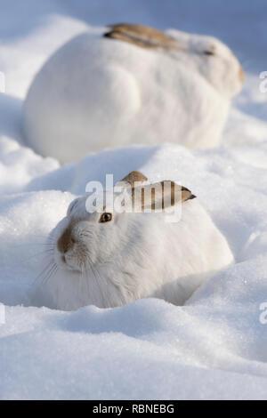 White-tailed Jackrabbits (Lepus townsendii) in snow, Alberta, Canada - Stock Image