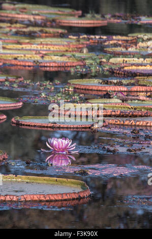 Giant Waterlilies, Victoria Amazonica, formerly called Victoria Regia, Panantal, Mato Grosso, Brazil, South America - Stock Image
