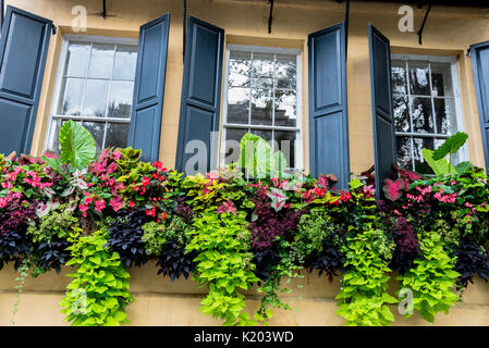 America, Charleston, South Carolina three windows with window boxes planted with green leafy plants and pink flowers - Stock Image