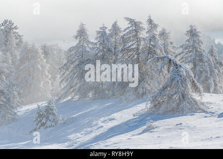 Gleize Pass, Champsaur, Hautes-Alpes, Alps, France: Wind blowing snow on the slopes and trees of Col de Gleize after a snowfall - Stock Image