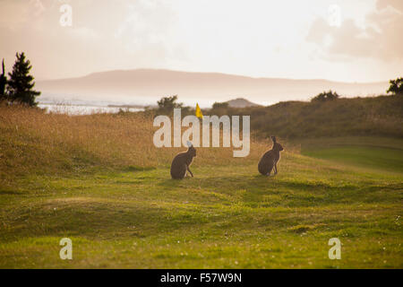 Two hares on a golf course in the evening sun - Stock Image