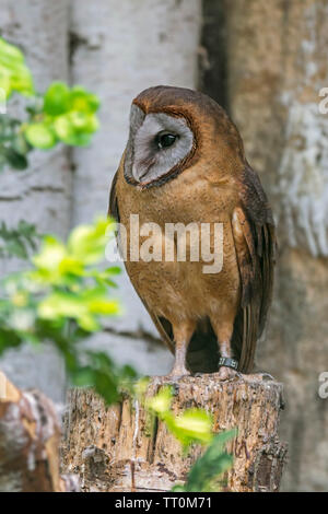 Ashy-faced owl (Tyto glaucops) barn owl species native to Haiti and the Dominican Republic - Stock Image