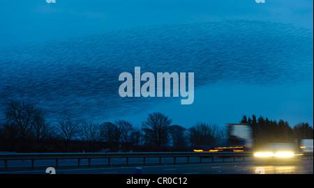 Flock of common starlings (Sturnus vulgaris) flying to roost at dusk, over M74 motorway near Gretna Green in Scotland. - Stock Image