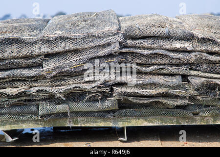 Oysters ready for harvesting - Stock Image