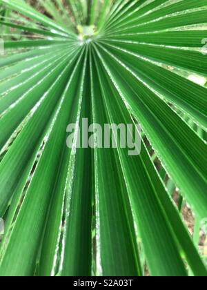 Up close of palm leaf - Stock Image