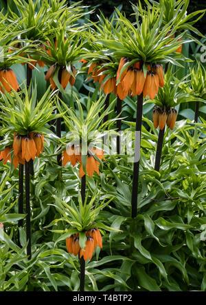 Fritillaria Crown Imperial Orange plants, flowering in April, England, UK - Stock Image