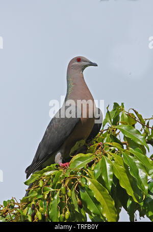 Ring-tailed Pigeon (Patagioenas caribaea) adult perched in fruiting tree (Jamaican endemic)  Port Antonio, Jamaica            April - Stock Image