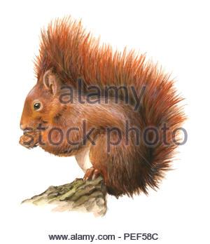 squirrel sciurus vulgaris - Stock Image