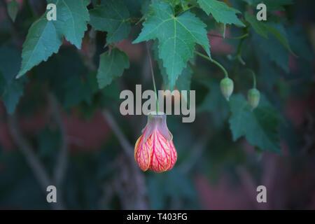 Red flower bud on leaf of abutilon hybrid close-up selective focus - Stock Image