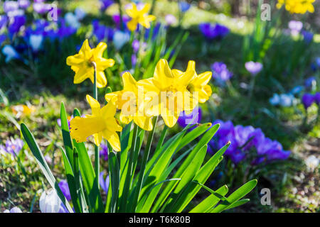 A cluster of daffodils open in the sun with brilliant blue and purple crocuses creating a blurred bokeh background - Stock Image