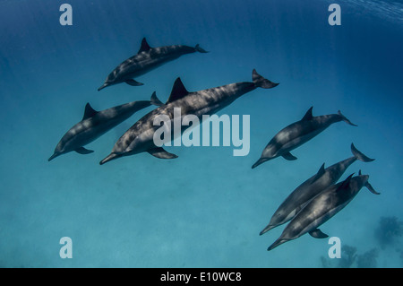 A school of common dolphins, Egypt (Delphinus delphis) - Stock Image