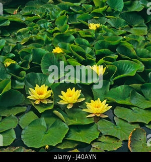 Yellow Nymphaea in landscape garden - Stock Image