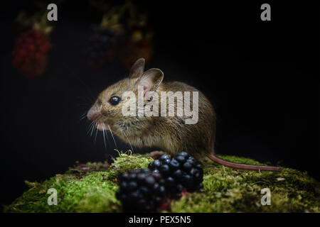 wood mouse,  Apodemus sylvaticus, feeding on blackberries,late summer in an Oxfordshire meadow. - Stock Image