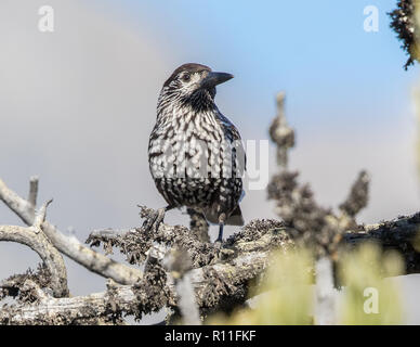 Adult Nutcracker (Nucifraga) perching on a lichen-covered tree in the Swiss Alps - Stock Image