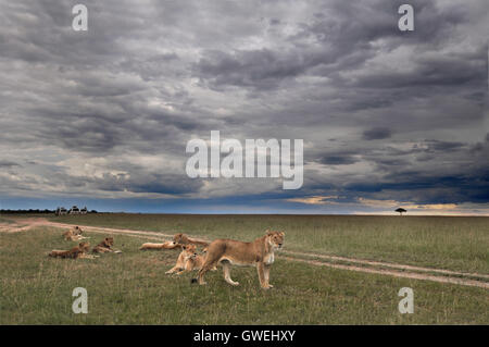 A family of lions in the grass under a stormy sky. Kenya, Africa. - Stock Image