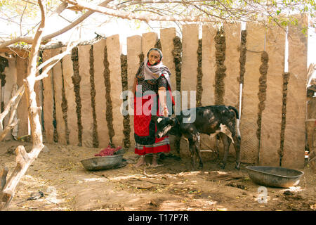 A Bishnoi woman poses with her cow. The Bishnoi are a vegetarian religios sect in India. - Stock Image