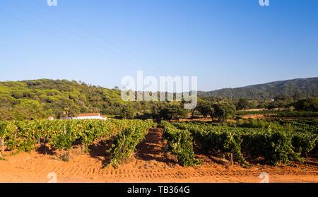 Grapevines in Setubal wine region in Portugal. - Stock Image