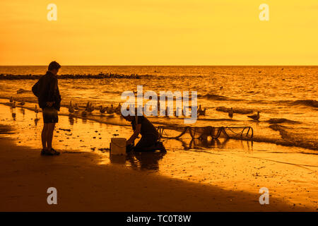 Shrimper sorting catch from shrimp drag net on the beach caught along the North Sea coast and seagulls waiting to eat bycatch - Stock Image