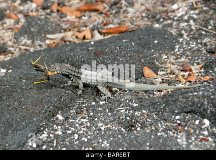 Lava Lizard Eating a Grasshopper, Microlophus albemarlensis, Tropiduridae, Punta Espinoza, Fernandina Island, Galapagos - Stock Image