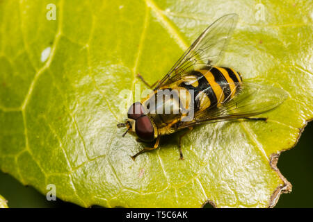 Hoverfly, Syrphus ribesii, male, Catbrook, April - Stock Image