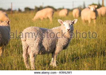 Flock of sheep grazing at sunset,  Canterbury, New Zealand - Stock Image